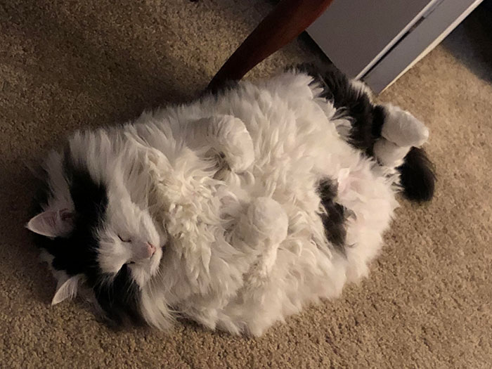 This Chonk Is My 13-Years-Old Maine Coon. She Likes To Sleep On Her Back. Tons Of Floof And Even More Love. Her Name Is Marilyn