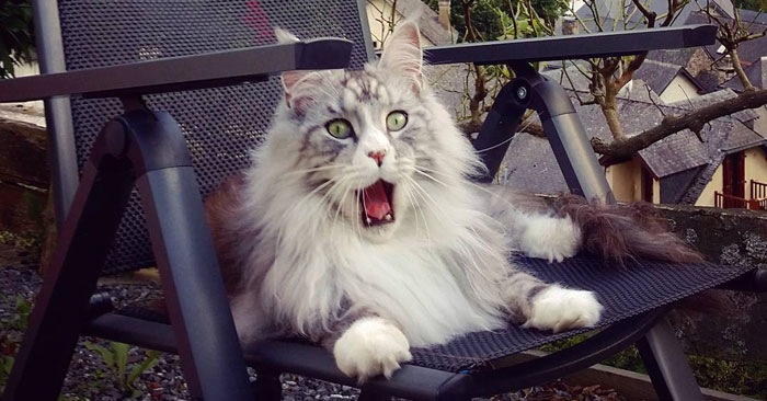 If You Think Your Tabby Is Funny, Wait Until You See These Silly Maine Coon Cats