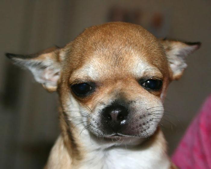 My Chihuahua Ate A Wasp