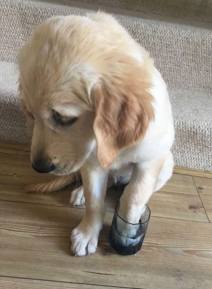 Our Goldie Rosie Stepped On A Wasp