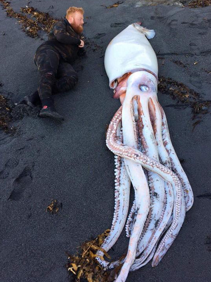 Giant Squid Washed Up In Wellington New Zealand