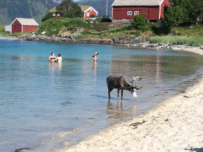A Reindeer Joined Us On The Beach Today Outside Harstad, Norway