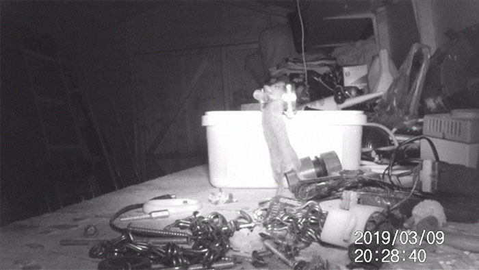 """""""I Thought I Was Going Mad:"""" Pensioner Catches A Mouse That Kept Cleaning His Shed On A Trail Cam"""