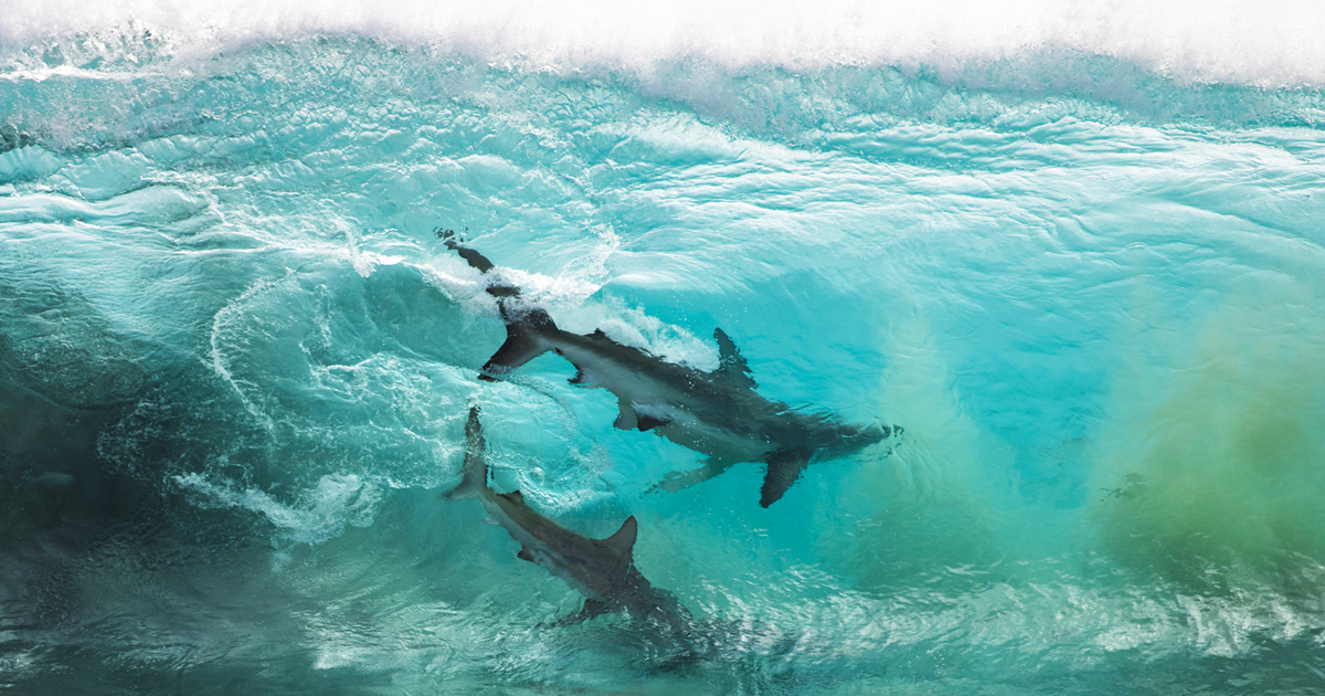 I Captured Shots Of Two Sharks Caught Inside A Wave In Western Australia