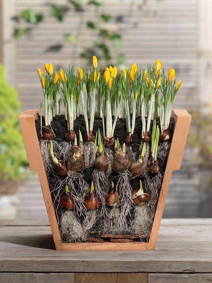 """Plantar bulbos al estilo """"lasaña"""""""