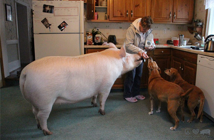 Couple Thinks They Adopted A Mini-Pig, Keeps Her As A Pet Even After It Grows To Be 650 Lbs