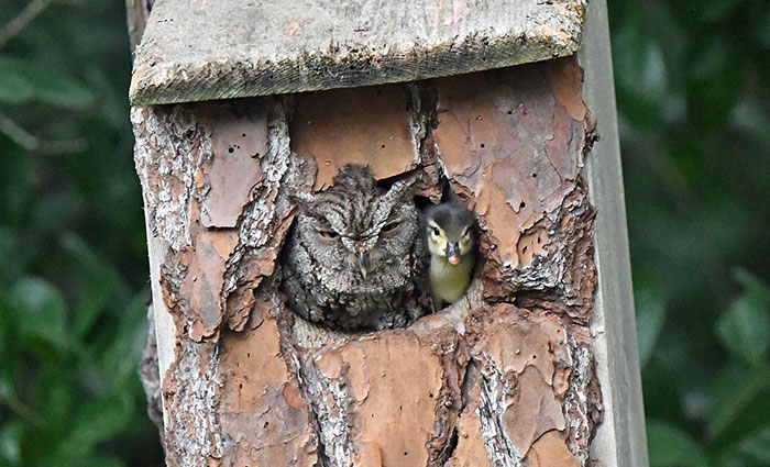 Duckling Gets Raised By An Owl And The Photos Are Adorable