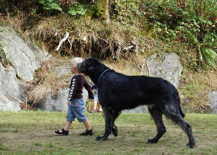 Little Brother Out Walking The Dog