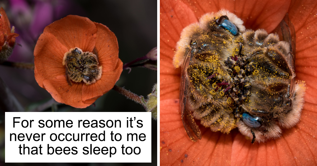 Turns Out, There's A Bee Species That Sleep In Flowers And It's As Cute As It Sounds