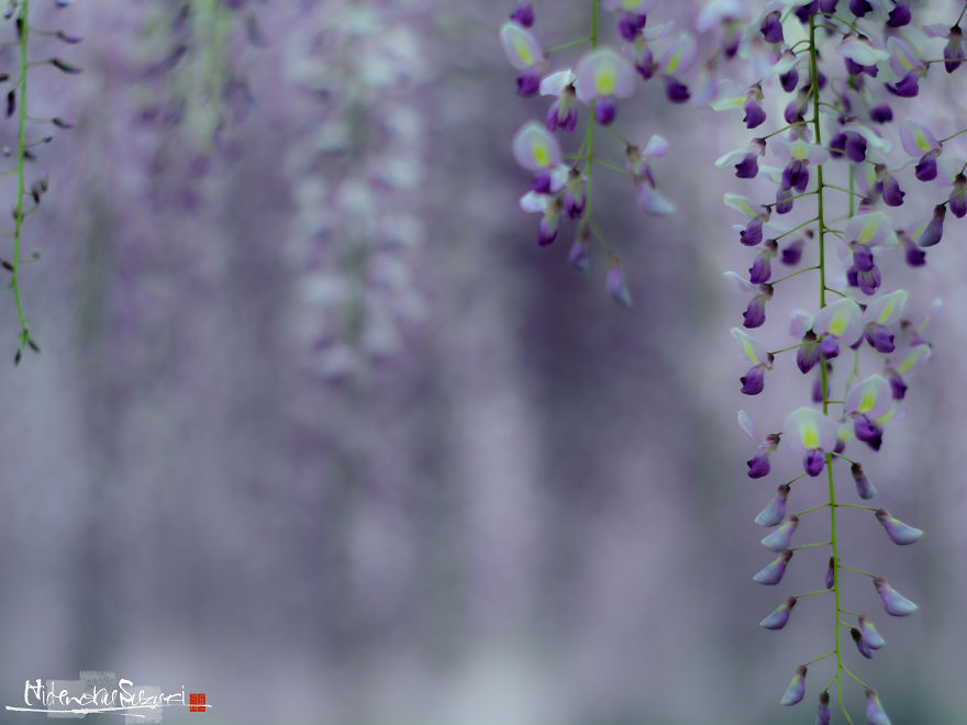 I Photographed The Cool Wisteria.
