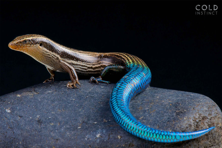 Gran Canaria Blue Tailed Skink