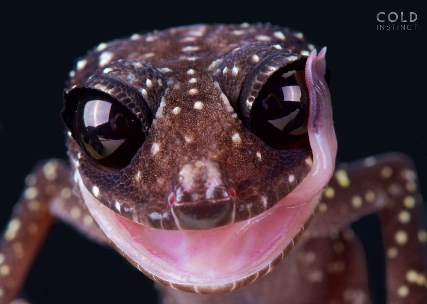 Masobe Gecko