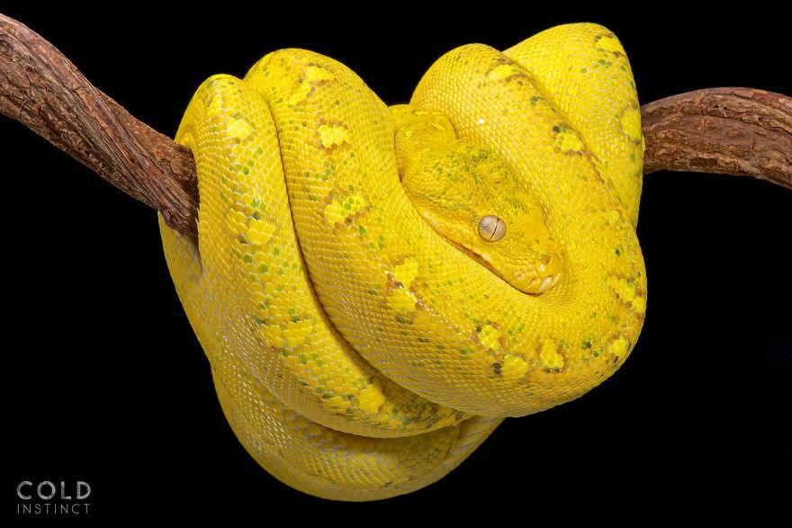 Northern Green Tree Python