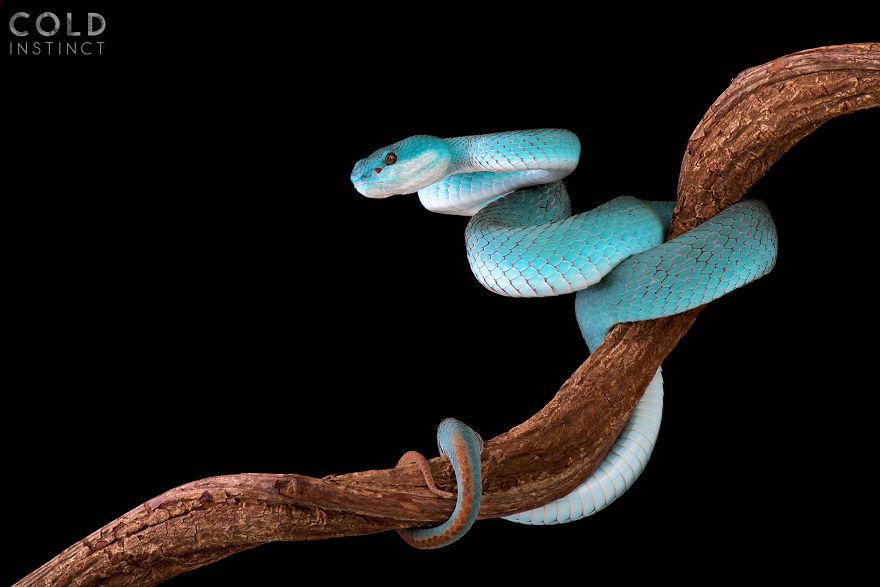 Blue White-Lipped Island Pit Viper