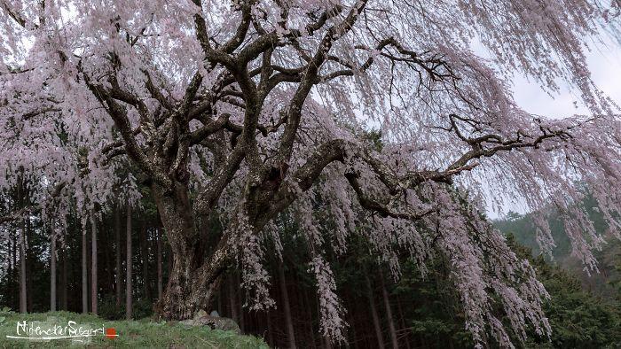 Japan's Oldest Cherry Tree