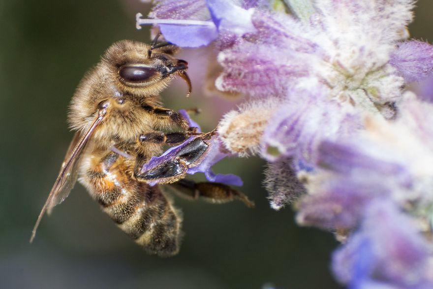 I Capture Bees In My Macro Photos