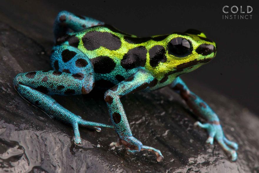 Splash-Back Poison Frog