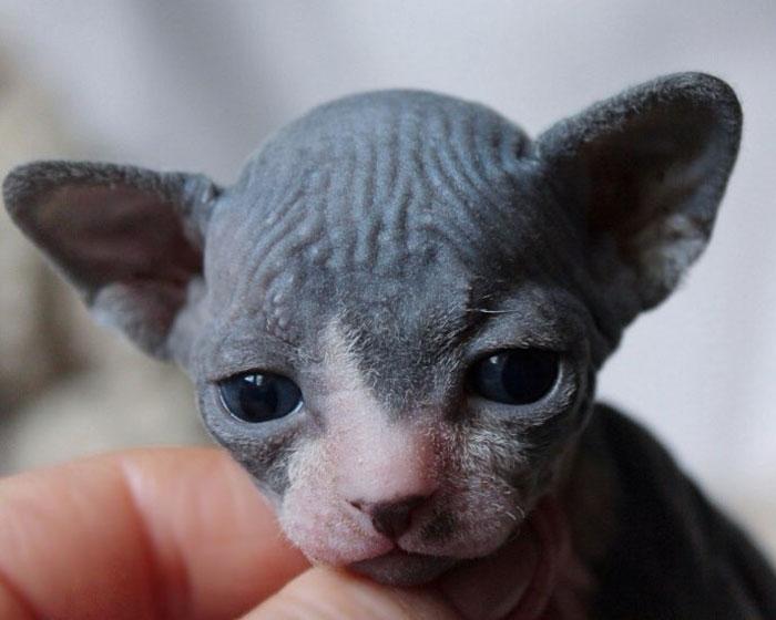 1-Month-Old Sphynx