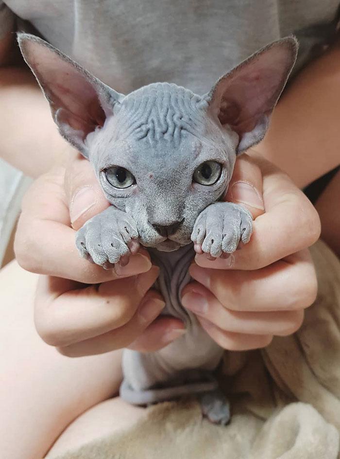 This Super Cute Sphynx Kitten