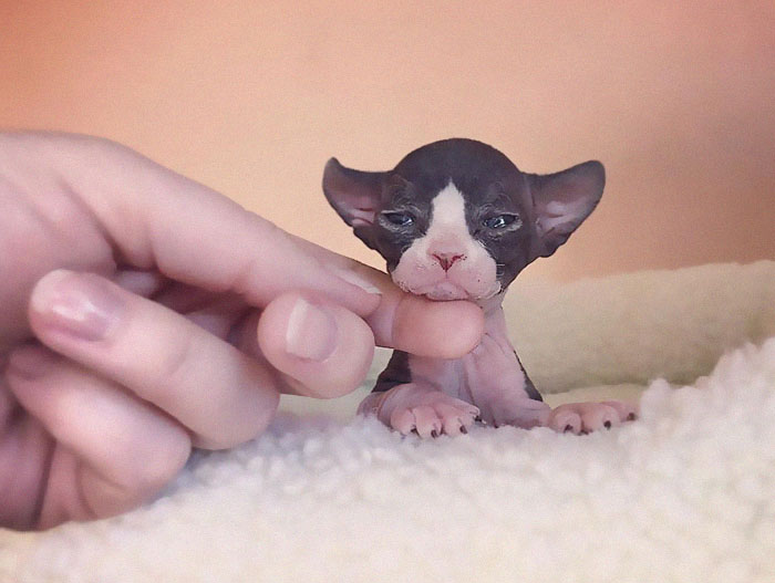 30 Adorable Sphynx Photos To Change Every Sphynx-Haters' Mind