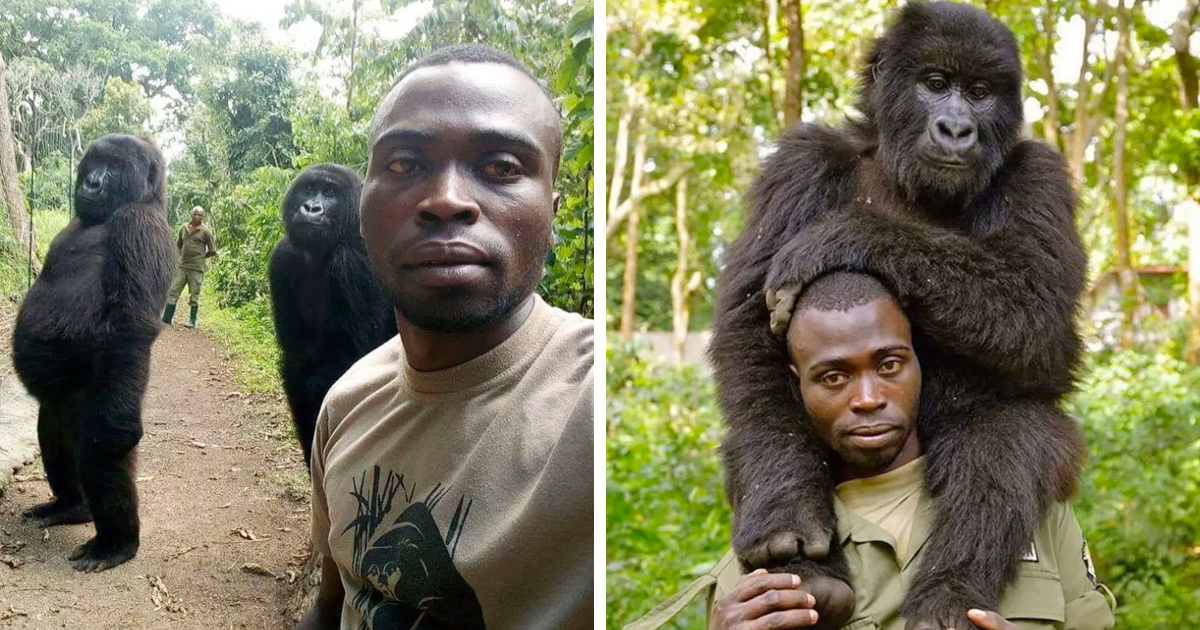 Gorillas Casually Pose For Selfies With A Ranger, Showing The Strong Bond Between Them