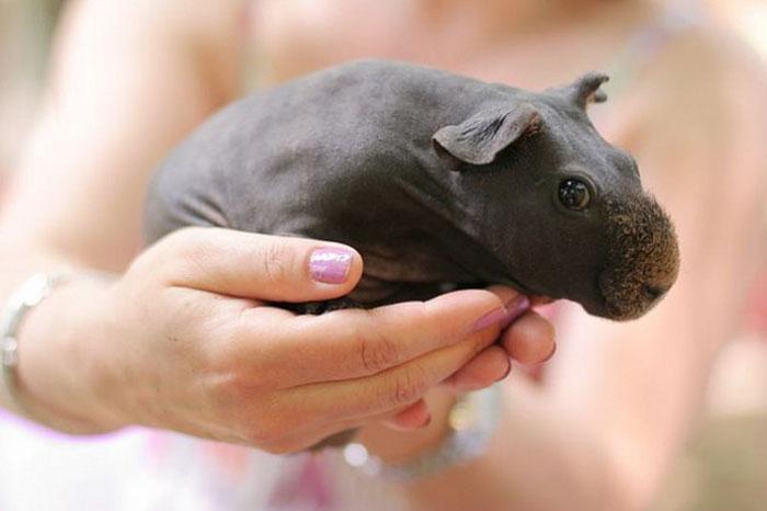 Hairless Guinea Pig Names