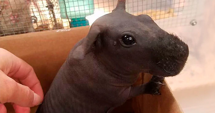 8 Hairless Guinea Pigs That You Could Mistake For Tiny Hippos