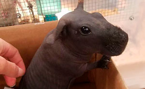 Turns Out Hairless Guinea Pigs Look Like Tiny Hippos, And It's Adorable