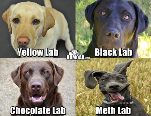 lab-dogs-5ca703738a4d8.jpg
