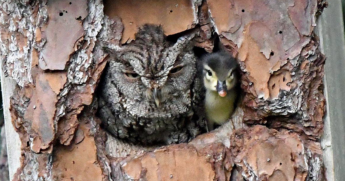 Owl Brings Up Duckling After Mistaking The Bird's Egg For Its Own