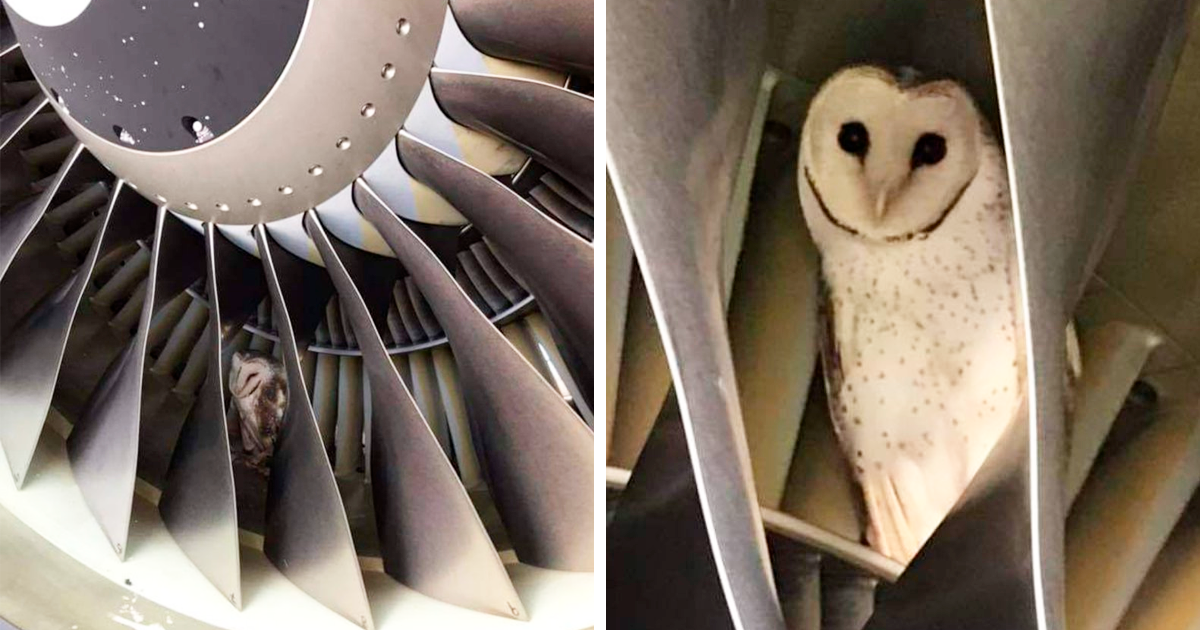 This Owl Was Found Napping Inside One Of The Plane Engines During Pre-Flight Check