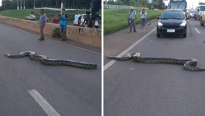 Bystanders In Brazil Teamed Up To Help A Giant Anaconda Cross The Road