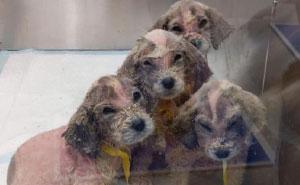 Un hombre encontró 6 cachorros sin pelo abandonados, nadie sabía que eran de la raza Gran Pirineo