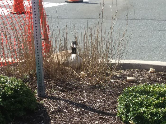 After This Geese Family Decided To Lay Eggs In Walmart's Parking Lot, The Employees Put Traffic Cones To Protect The Family