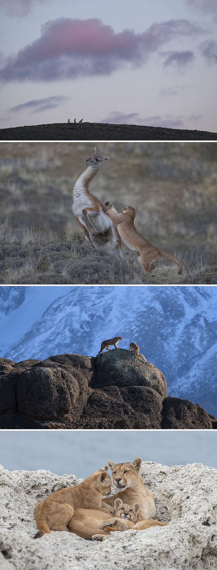 "Nature, Stories, 3rd Prize, ""Wild Pumas Of Patagonia"" By Ingo Arndt"