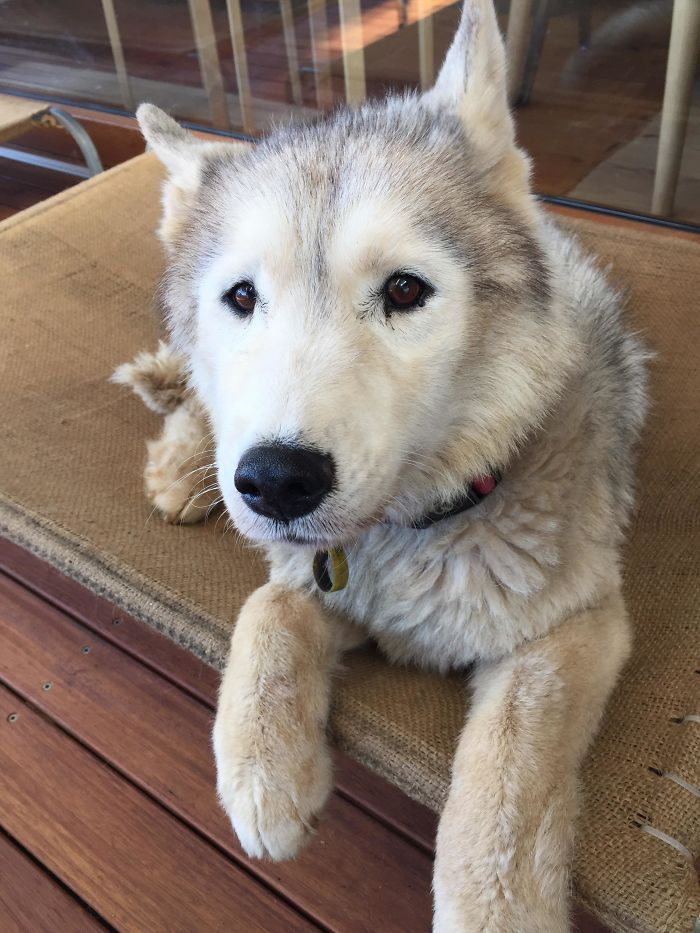My Friend's 11 Year Old Husky Looks Like She's A Puppy