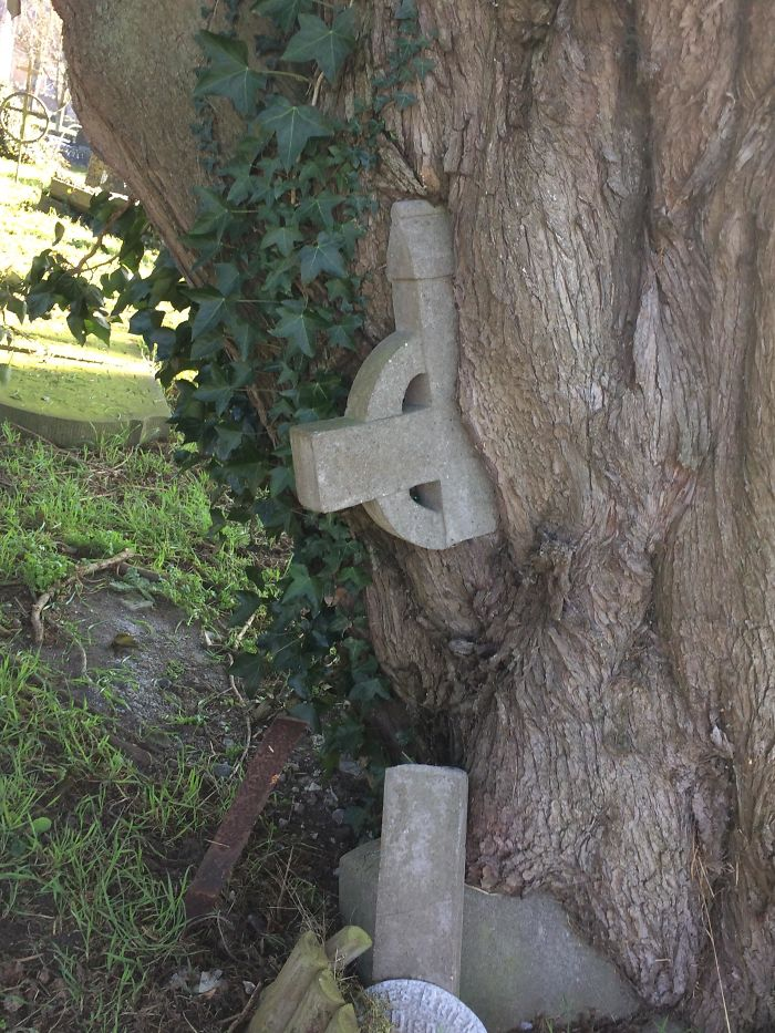 This Tree Grew Over A Grave Stone And Took The Cross With It
