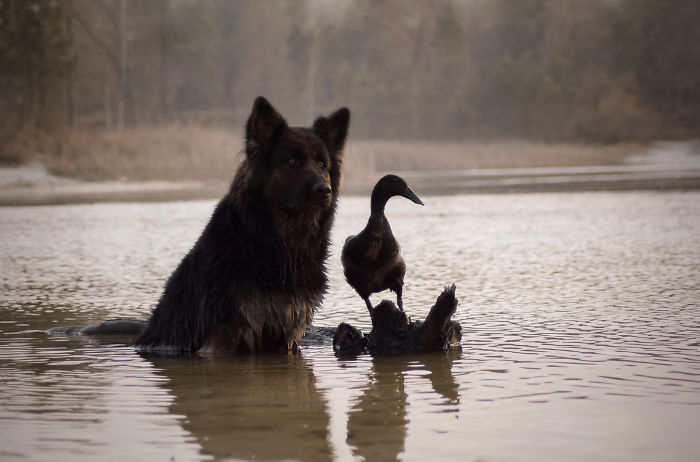 I Photograph The Special Bond Between My Dog And My Duck To Show How Sensitive Animals Can Be