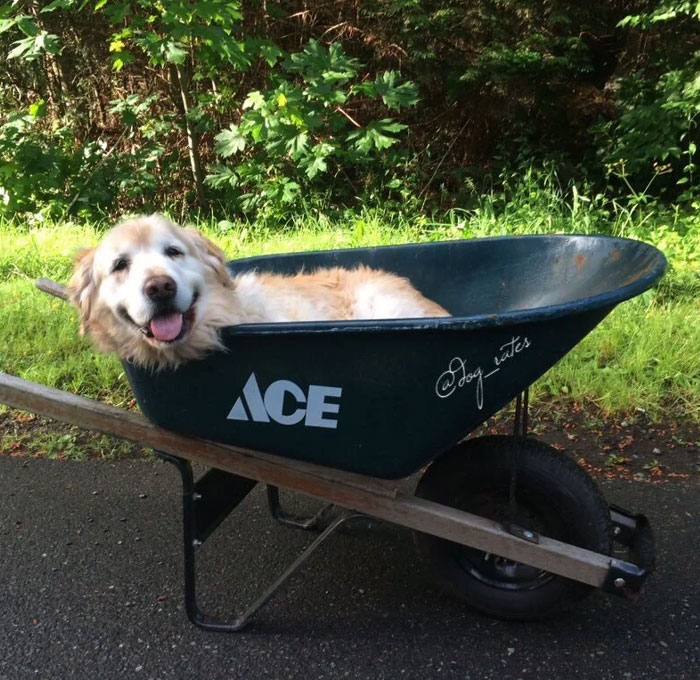 Mi perro ya no puede darse paseos, así que lo hemos puesto en una carretilla y le hemos dado una vuelta al vecindario