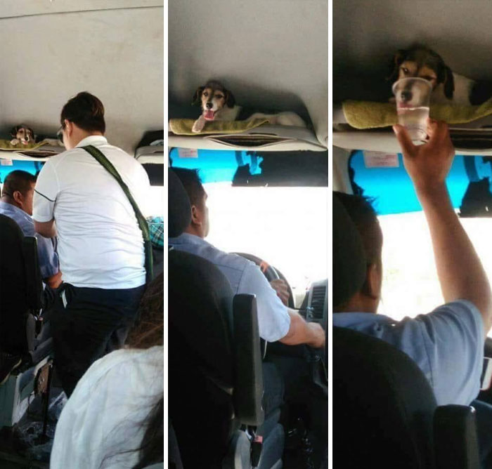 Senior Dog Owner Is A Bus Driver. Doggo Goes With Him To Work Every Day