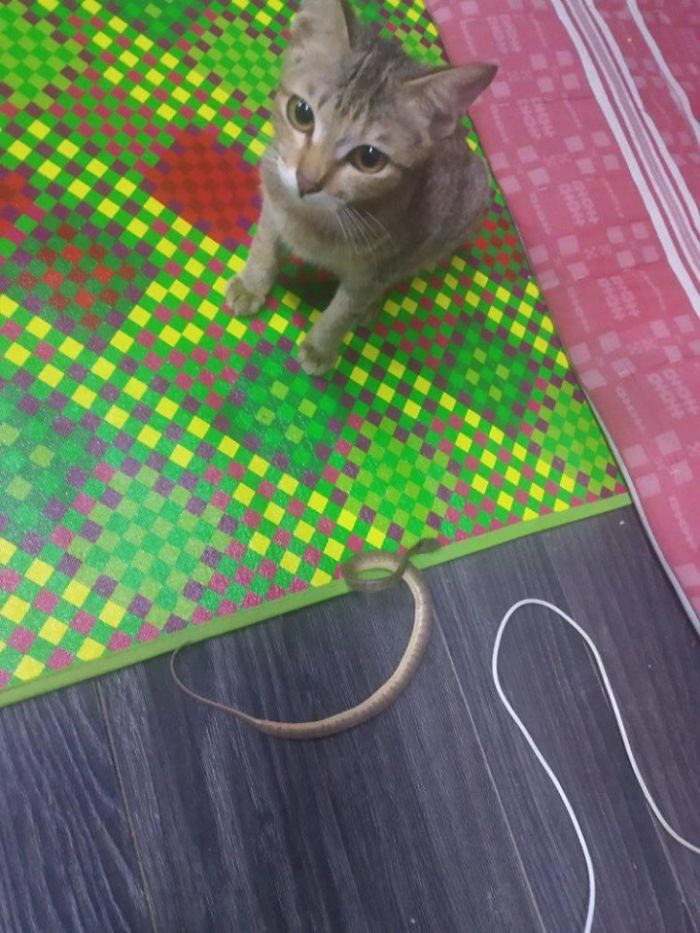 Owner Can't Be Mad At The Cat Anymore For Destroying His Earphone Cable, As The Cat Returned With A Snake As A Replacement