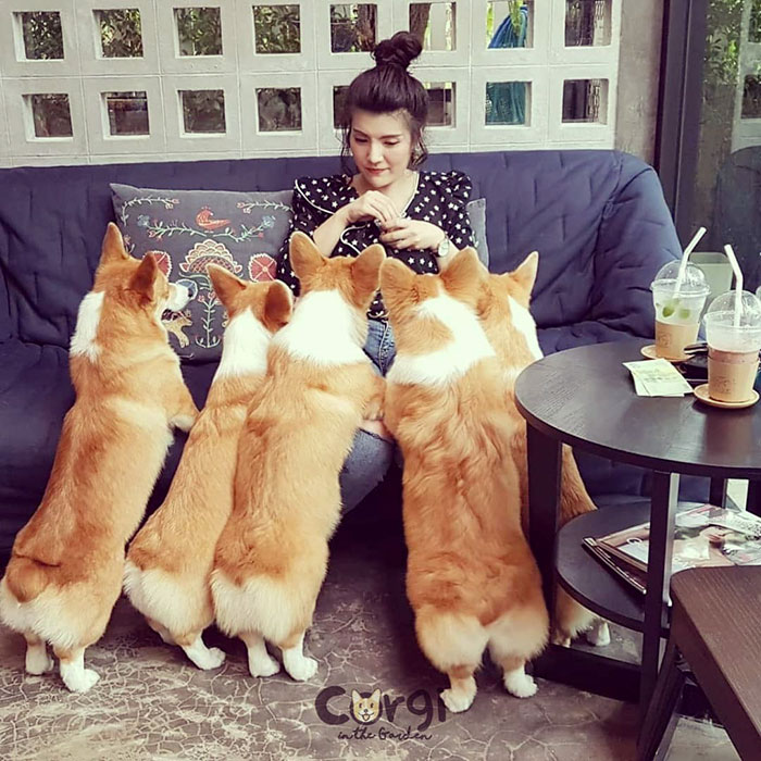 Woman Opens A Corgi Cafe After A Surprise Litter Of Pups And The Photos Are Too Adorable
