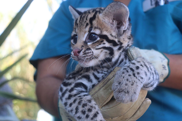 El Paso And Cincinnati Zoos Welcome 3 Endangered Ocelot Kittens Born After Using Frozen Semen