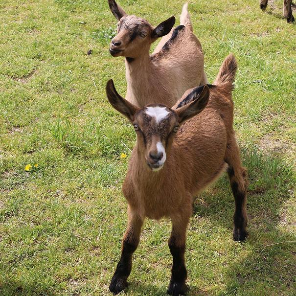 goat-5cdb2d759cdcd.jpg