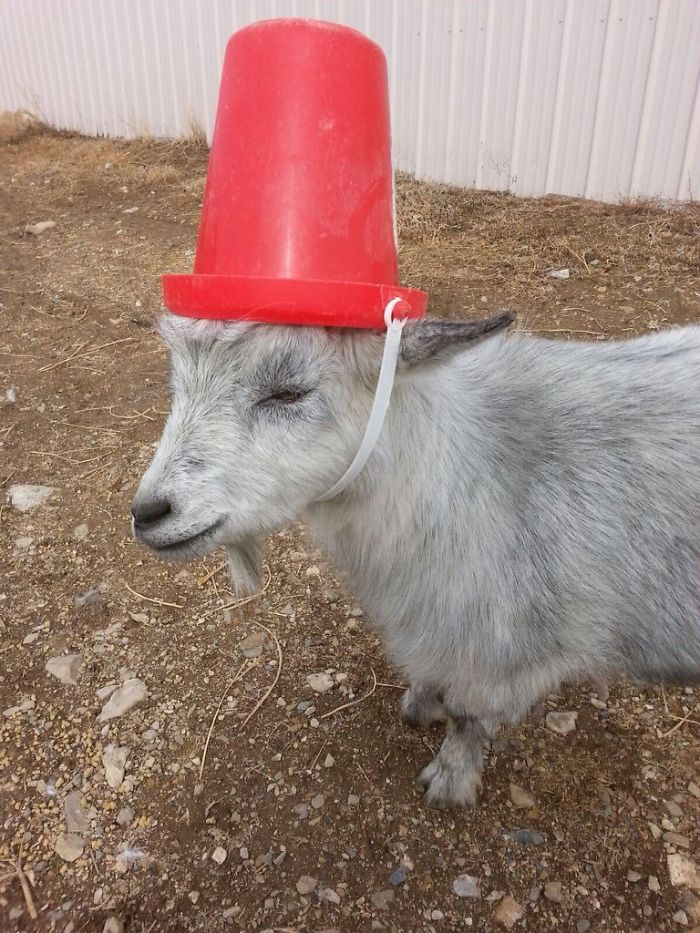 14 Pics Of Misbehaving Goats That Were Forced To Wear Pool Noodles For Everyone's Safety