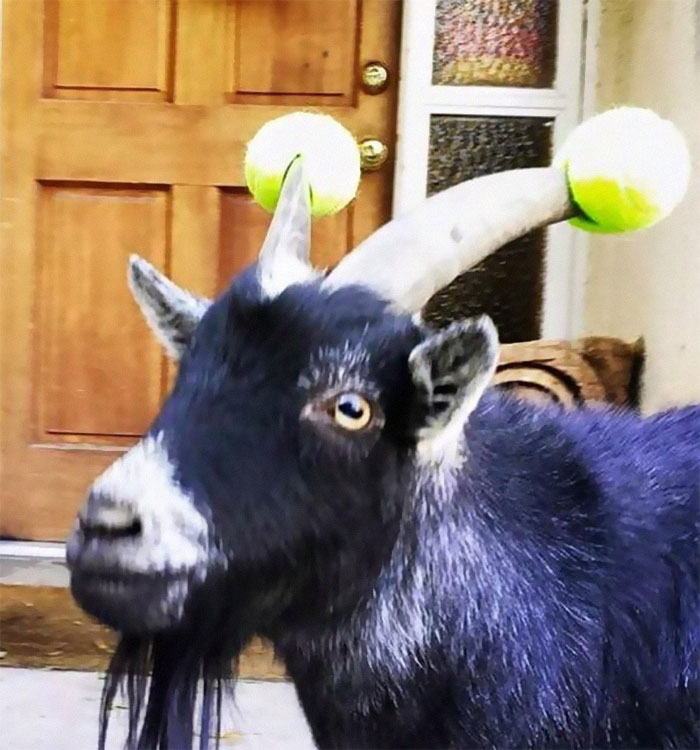 Bad Goats Who Won T Stop Headbutting Have To Wear Pool