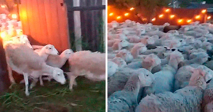 200 Sheep Saw This Guy's Yard With Its Fence Open And Decided To Give Him A Visit – Now They Refuse To Leave