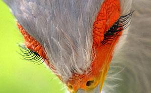 El pájaro secretario es tan hermoso que podría ser fácilmente un personaje de Pixar