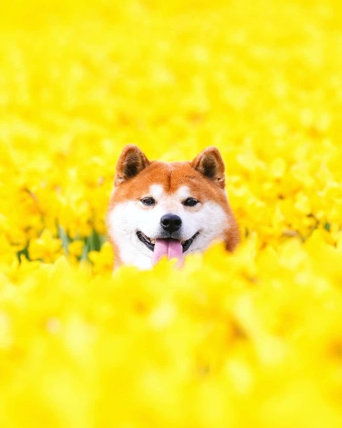 This Shiba Inu Is The Cutest Flower Boi In Japan And His 19 Pics Are Making People Happy