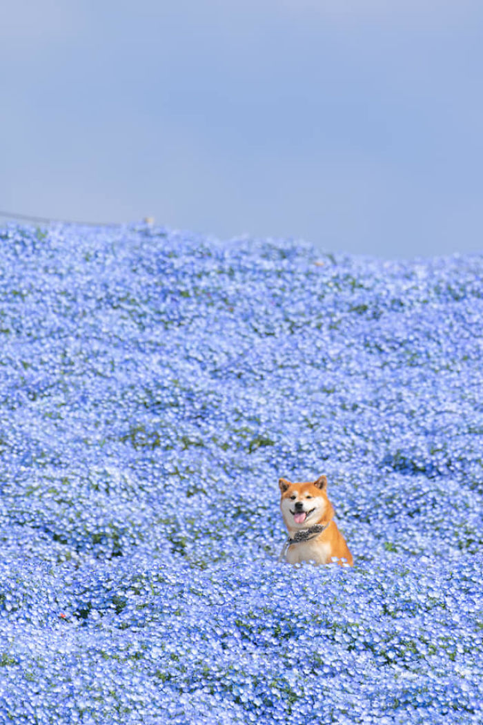 This Shiba Inu Is The Cutest Flower Boi In Japan And His 19 Pics Are Making People Happy Bored Panda